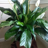 My Granny's Lily